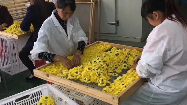 江西婺源花姐--整体除湿烘干系统在花茶菊花烘干中的应用